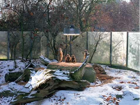Cuatro suricatas en Stuttgart Copia Lambda sobre metacrilato con moldura de aluminio 90X120 cm. Tiraje: 5 + 1 P.A.